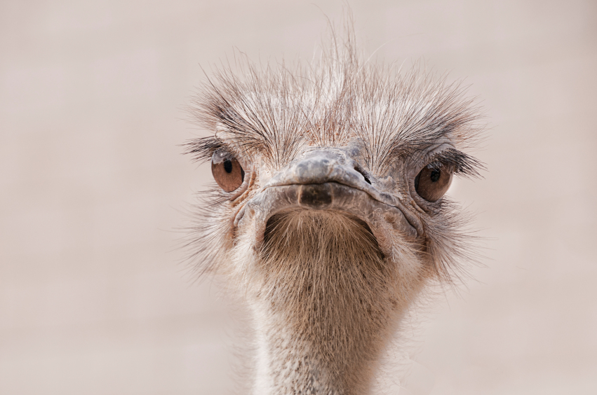 Ostrich head shot, looking straight at the camera, sharpest focus on the eyes, against a neutral background
